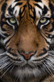 best 25 tiger wallpaper ideas on pinterest tiger pictures sumatran tiger 01 by http vetchykocour deviantart com on