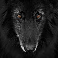belgian sheepdog clipart wolf shadow photography artwork for sale melbourne victoria