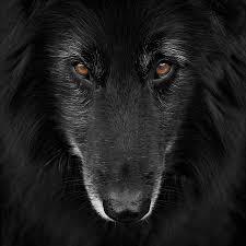 belgian sheepdog newsletter belgian shepherd groenendael 4 photograph by wolf shadow photography