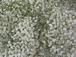 baby s breath flowers perennial baby s breath seeds