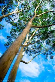 69 best trees images on pinterest rainbow eucalyptus tree tree