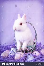 cute white netherland dwarf bunny rabbit with easter eggs on