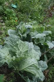 growing collard greens how and when to plant collard greens