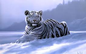white siberian tiger wallpaper dowload