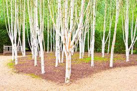 silver birch trees photograph by tom gowanlock