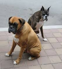 boxer dog origin boxer breed information and photos thriftyfun