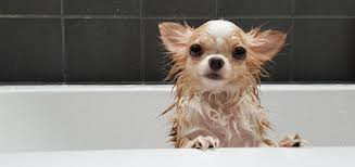 Dogs In The Bathtub How To Take Care Of Your Dog U0027s Hair From Puppyhood Through