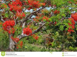 bright red flowers on what u0027s known as the christmas tree in fiji