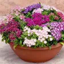 phlox flower phlox plants popstars all flower plants flower plants