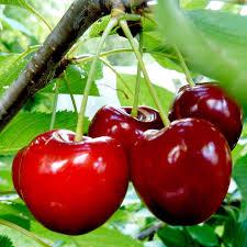 Cherry Tree Fruit - gourmet fruit tree cherry all fruit trees fruit trees