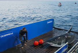 state expert the great white sharks haven u0027t arrived in force