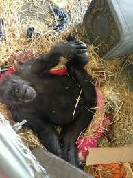 chimp facts articles recommended reading save the chimps
