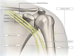 Anatomy Of Rotator Cuff Shoulder U0026 Upper Limb Anatomy Shoulder Anatomy