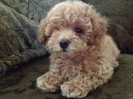poodle vs bichon frise bichon frise shih tzu mix also known as a teddy bear dog breed