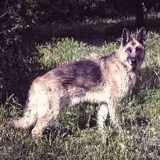 australian shepherd average weight lifespan of a dog a dog years chart by breed