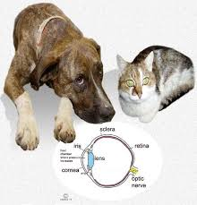 Temporary Blindness In Dogs Glaucoma In Your Dog Or Cat