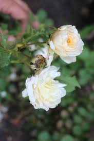 gardening tips for beginners pruning roses for repeat blooms