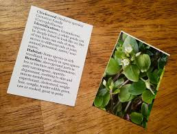native english plants the forager u0027s wild edible u0026 herbal plant cards are here the