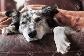 australian shepherd or border collie border collie australian shepherd dog on couch under blanket