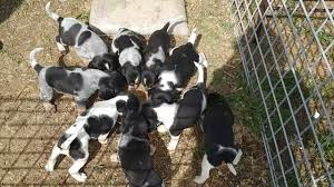 bluetick coonhound puppies near me bluetick coonhound puppies near me these crazy cute 2017 puppy
