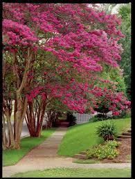 Small Backyard Trees by Best 25 Crepe Myrtle Trees Ideas On Pinterest Myrtle Tree