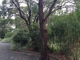 australian native hedging plants australian natives in the home garden u2013 janna schreier garden design
