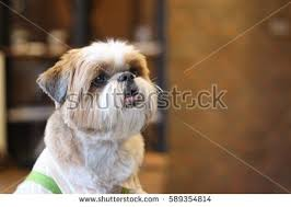 australian shepherd overbite happy overbite shitzu dog dog cafe stock photo 589354847