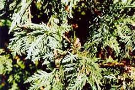 plants id woody ornamentals wisconsin 4 h projects