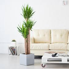 large indoor plants 5 u0027 6 u0027 potted in modern planters yucca plant