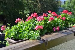 balkonpflanzen bei starker sonne pflegen 6 tipps - Balkon Grã Npflanzen