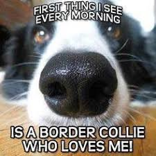 Border Collie Meme - do you have a border collie share your experiences dogs