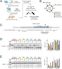 Enhanced homology directed human genome engineering by controlled
