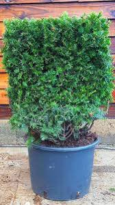 Yew Topiary - baccata yew topiary cubes for sale online uk