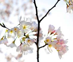 dc blooms 2015 where to find cherry blossoms in the washington