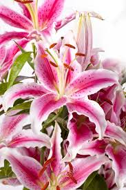 pink lilies up of pink lilies on white background stock photo picture
