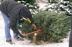 christmas tree farms anticipate healthy trees busy crowds