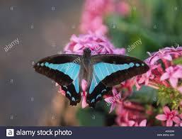 australian garden flowers blue triangle butterflies are common visitors to australian garden