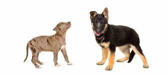 american pitbull terrier z hter deutschland german shepherd pitbull mix a k a the shepherd pit ultimate