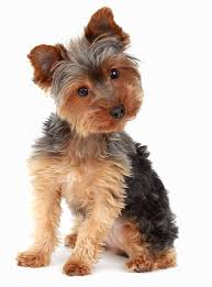 yorkie hair cut chart the yorkie coat facts care grooming haircut styles
