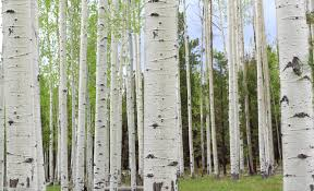 the stand why aspen trees remind me of illinois baptists