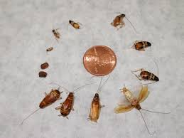 roaches in my bathroom brown banded cockroach combat roaches pinterest german