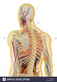 Nervous System Human Anatomy Transparent Human Body With Internal Organs Nervous System Stock