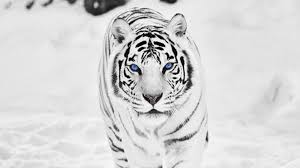 white siberian tiger wallpaper 56 images