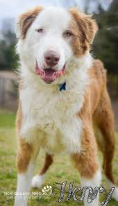 australian shepherd husky mix for sale available dogs