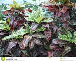 Croton Tropical Plant Plants With Large Multi Colored Leaves Croton Codyium Stock