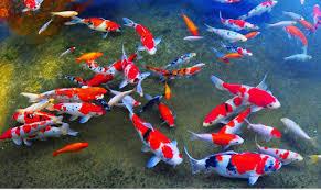 japanese koi fish at rs 750 kochi id 16182123230