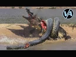 film ular phyton video aneh ular anaconda makan buaya nyata melawan ular python