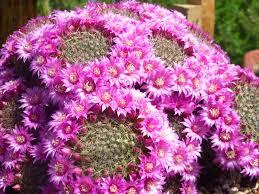 mammillaria zeilmanniana rose pincushion cactus see its profile