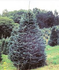glenville nc wholesale fraser fir trees wholesale christmas tree