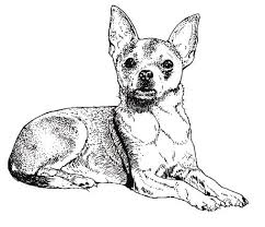 879 best pinscher u0026 chihuahua 4 images on pinterest chihuahua